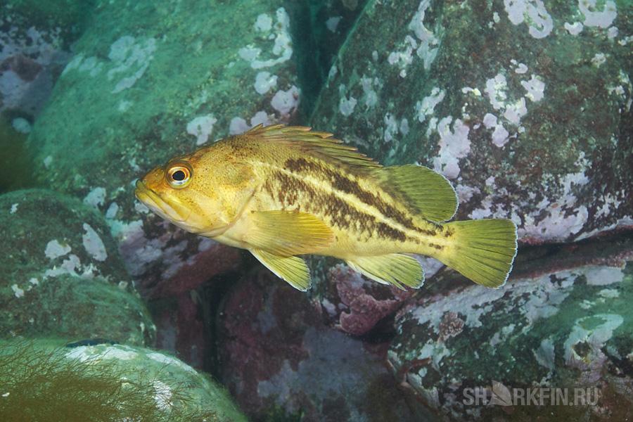 Подводная охота на желтого окуня