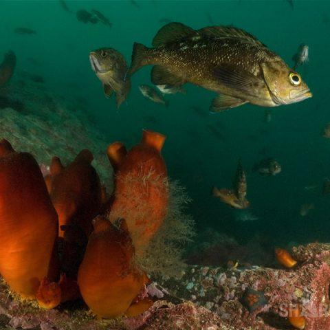 Подводная охота на восточного окуня