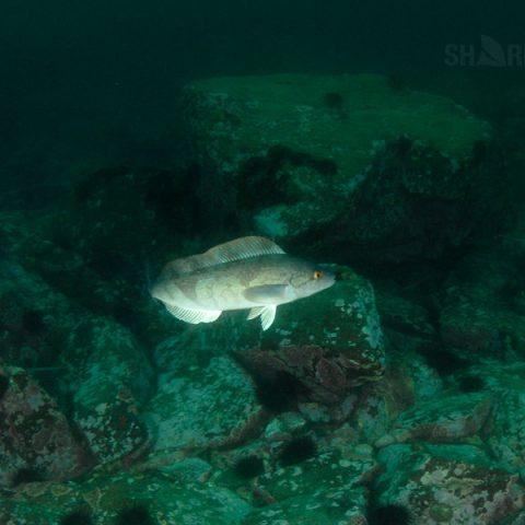 Подводная охота на терпуга