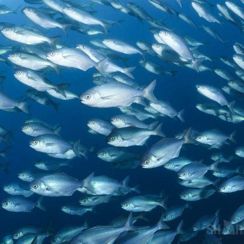 Подводная охота на гипероглифа