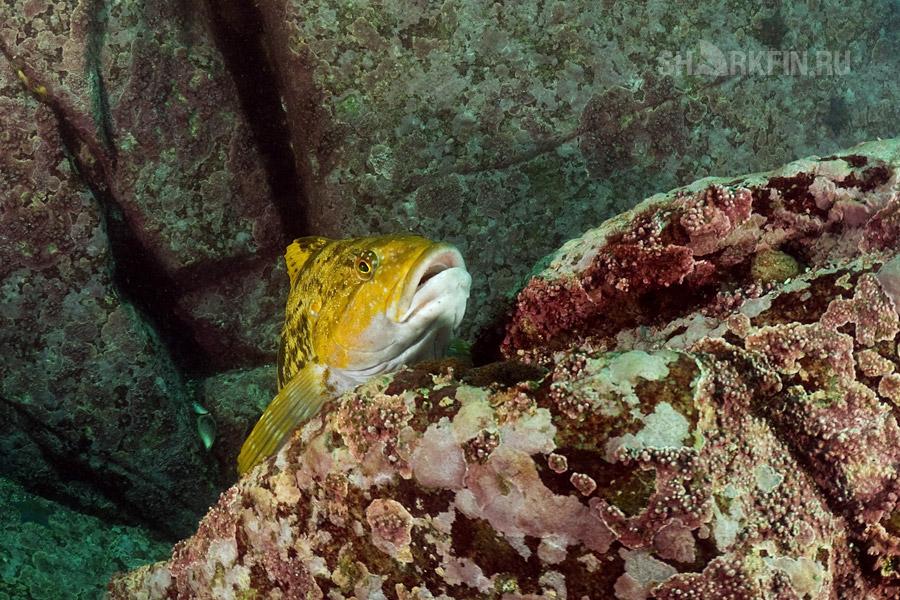 Подводная охота на терпуга японского